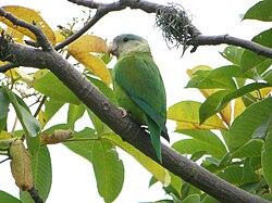 Brotogeris Pyrrhoptera o Catita Macareña 250px-Brotogeris_pyrrhoptera_-Guayas_-Ecuador-8