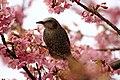 Brown-eared Bulbul with cherry blossom (34162520112).jpg