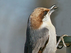 Brown-headed Nuthatch RWD.jpg