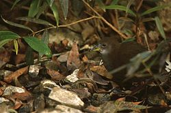 Brown Crake (Amaurornis akool) (20622001479).jpg