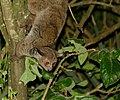 Brown Greater Galago (Otolemur crassicaudatus) (50099363978).jpg