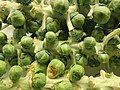 Brussels sprouts on the stalk.jpg