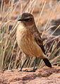 Buff-streaked Chat, Buff-streaked Bushchat, Campicoloides bifasciatus (female) at Marakele National Park, South Africa (14062737341).jpg