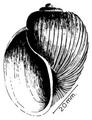 Bulinus tropicus shell.png