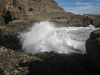 English: Bull kelp (Durvillaea antarctica) is ...