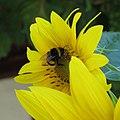Bumble-bee 1.jpg