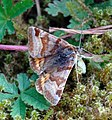 Burnet Companion - Euclidia glyphica (18459030509).jpg