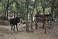 Burro catalan-Llinars del valles (2).JPG