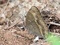 Bush brown from Melagiri TN IMG 6534.jpg
