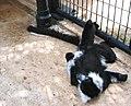 Bw Ruffed lemur.jpg