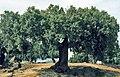 Cáceres, árboles 1975 01.jpg