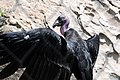 CA Condor on rocks (19752763555).jpg