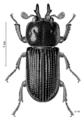 COLE Lucanidae Syndesus cornutus m.png