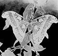 COLLECTIE TROPENMUSEUM Atlasvlinder pas uit de cocon droogt zijn vleugels TMnr 10006406.jpg