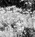 COLLECTIE TROPENMUSEUM Javaanse Edelweiss op de Gunung Gedeh TMnr 10006303.jpg