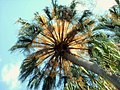 Cabbage palm in flower - panoramio.jpg