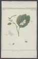 Cabera - Print - Iconographia Zoologica - Special Collections University of Amsterdam - UBAINV0274 003 06 0056.tif