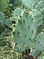 Cactus in Bandarabbas.jpg