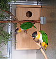 Caiques at nestbox.jpg