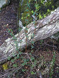 Calafate-Berberis buxifolia