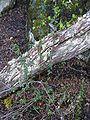 Calafate-Berberis buxifolia.jpg
