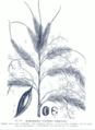 Calamus adspersus GS273.png