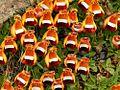 Calceolaria uniflora R.JPG