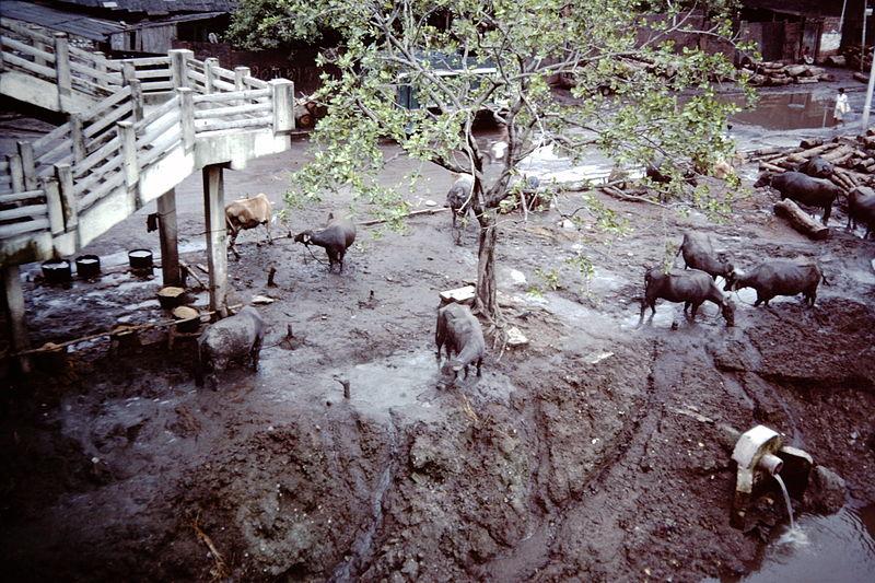 Fichier:Calcutta-slums-1986-IHS-40-03-Cows.jpeg