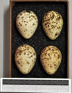Temminck's stint - Eggs, Collection Museum Wiesbaden