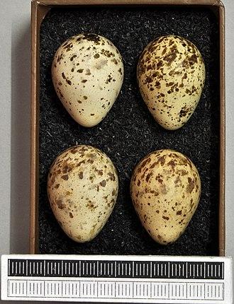 Temminck's stint - Eggs, Collection Museum Wiesbaden