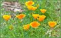 California Poppies (151714979).jpeg