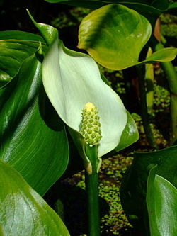 Calla palustris.jpg