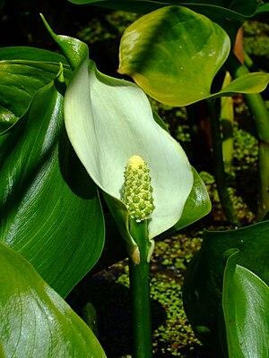 Sumpf-Calla oder Drachenwurz (Calla palustris)
