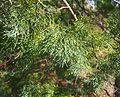 Callitris glaucophylla foliage.jpg