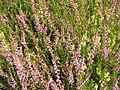 Calluna vulgaris Marleen.jpg