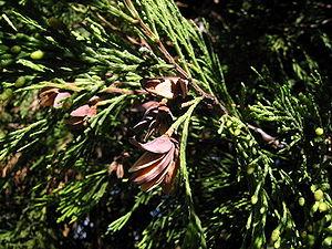 Calocedrus - Calocedrus decurrens California incense cedar