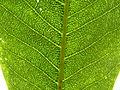 Calodendrum capense, geurkliere, c, Uniegeboutuine.jpg