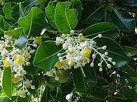 Calophyllum inophyllum Darwin