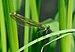 Calopteryx splendens qtl6.jpg