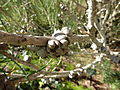 Calothamnus gilesii (fruits).JPG