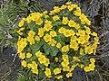 Caltha palustris Marsh-marigold kingcup (bekkeblom soleihov) wetland brook (våtmark bekk) Pirane, Hvasser, Oslofjorden, Norway 2021-05-13 IMG 9465.jpg