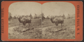 Camel in Central Park, from Robert N. Dennis collection of stereoscopic views.png