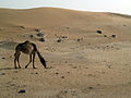 Camel in the Desert (8668544166).jpg
