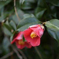 Camellia japonica800 5726