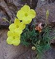 Camissonia sp. (27510444631).jpg