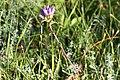 Campanula glomerata - Toppklocka-3006 - Flickr - Ragnhild & Neil Crawford.jpg