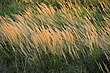 Canada bluejoint (Calamagrostis canadensis) Sand Lake Wetland Management District 02 (14386718725).jpg