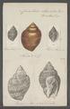 Cancellaria reticulata - - Print - Iconographia Zoologica - Special Collections University of Amsterdam - UBAINV0274 084 05 0002.tif