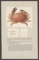 Cancer integerrimus - - Print - Iconographia Zoologica - Special Collections University of Amsterdam - UBAINV0274 006 01 0036.tif