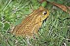 Cane toad (Bufo marinus).jpg